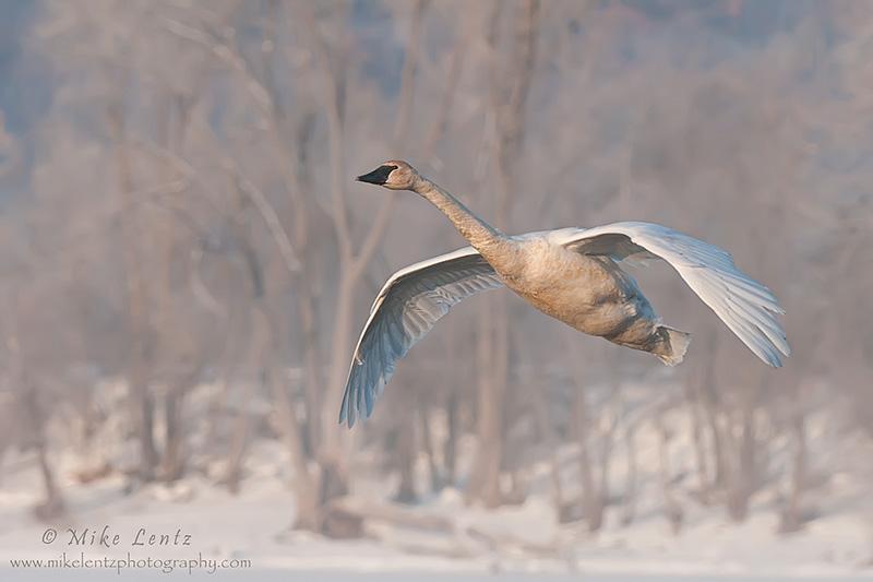 Trumpeter swan in winter scenics
