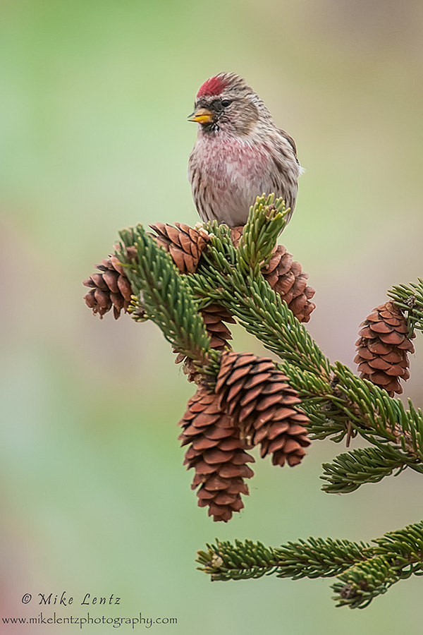 Common Redpoll on pines