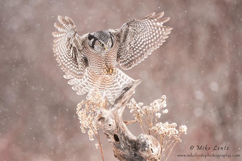 Northern Hawk owl wings wide