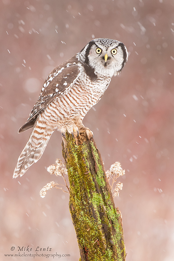 Northern Hawk Owl on green mossy perch