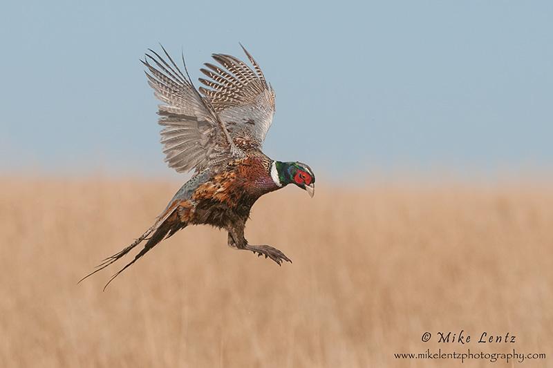 Pheasant landing