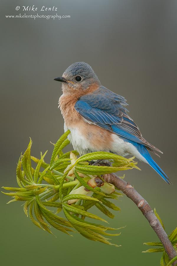 Bluebird on plush perch