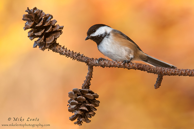 Black-Capped chickadee on pines