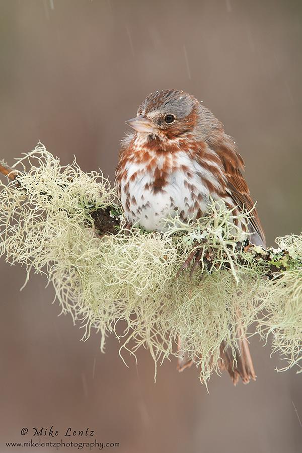 Fox sparrow on mossy perch
