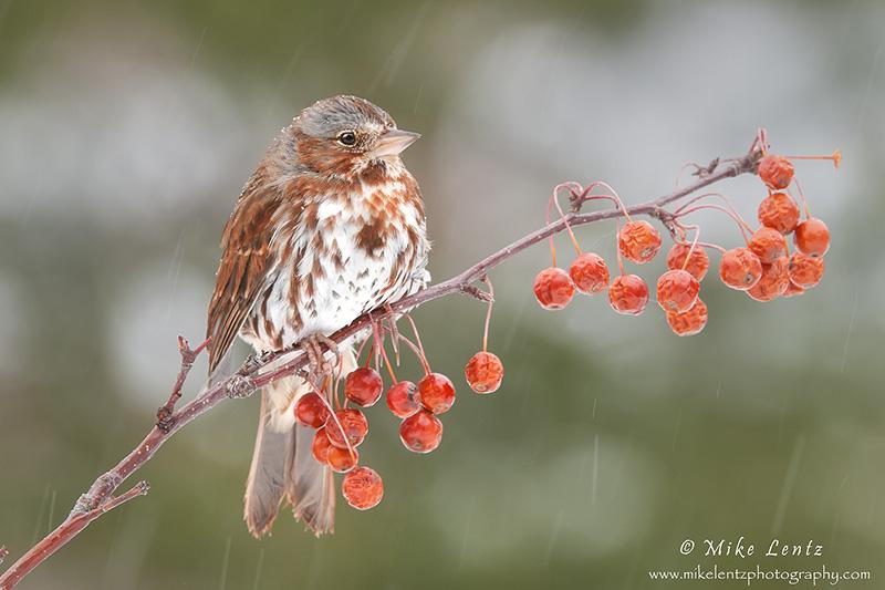 Fox Sparrow on berries