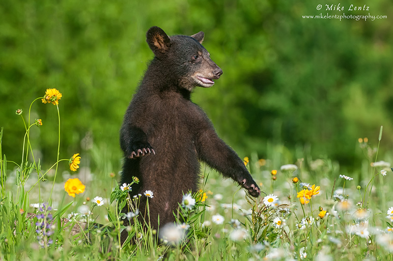 Bear cub upright