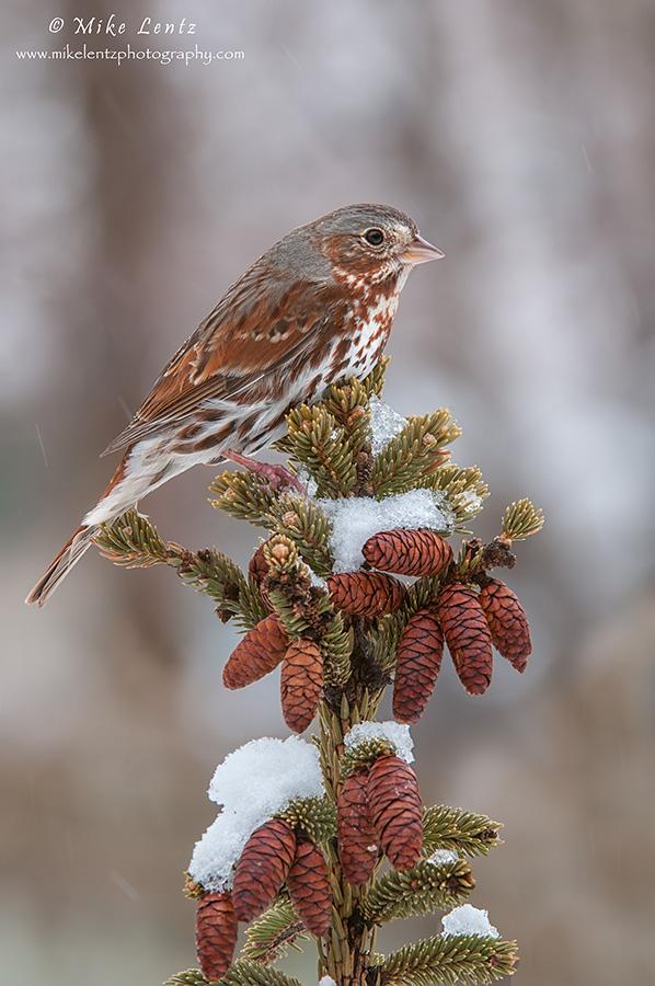 Fox Sparrow on pine