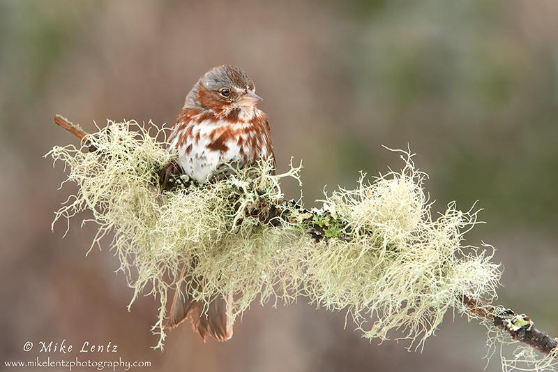 Fox sparrow -  lichen beauty