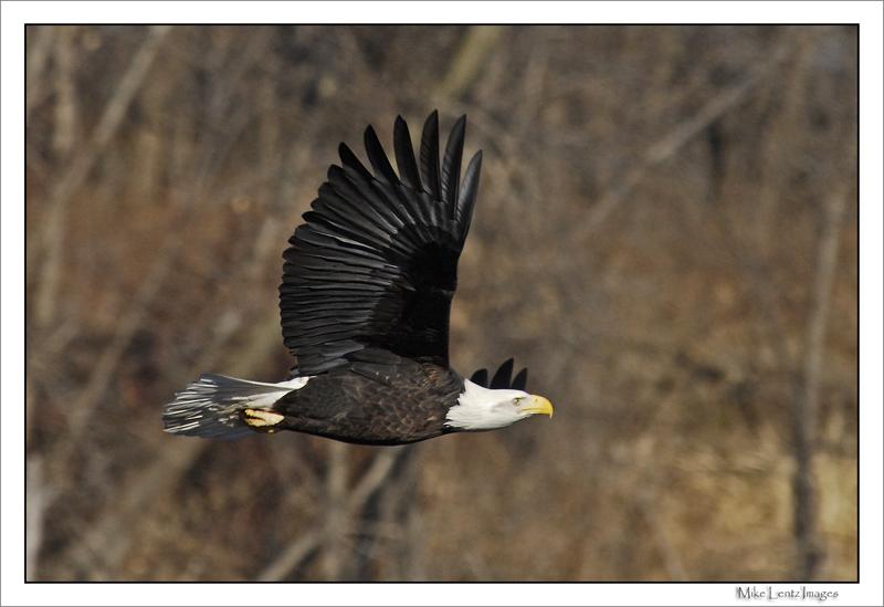 Bald eagle on the move