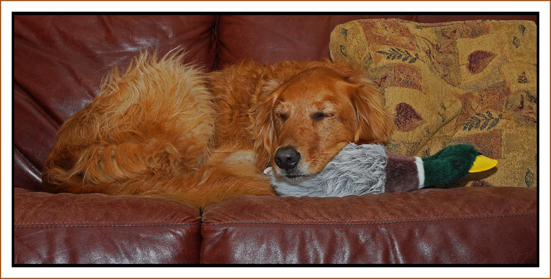 Bailey asleep on duck