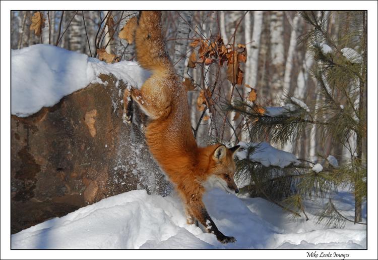 Fox leap from rock