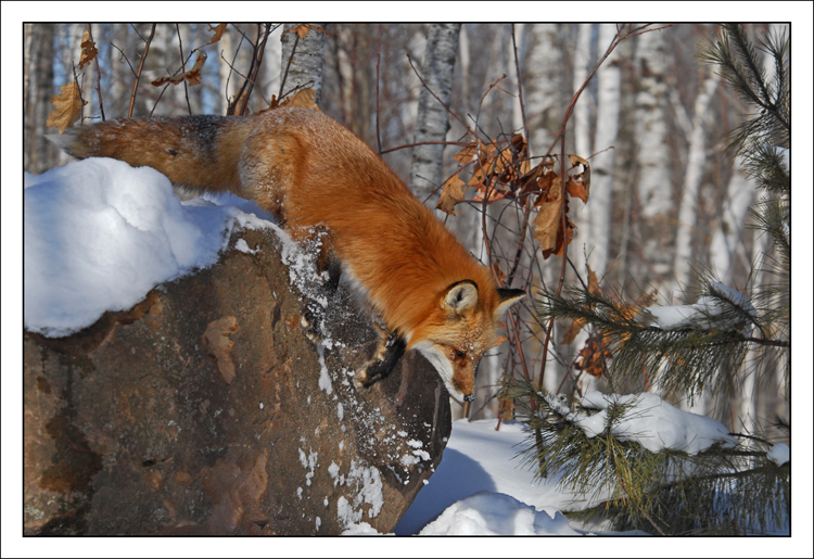 Fox with hops!