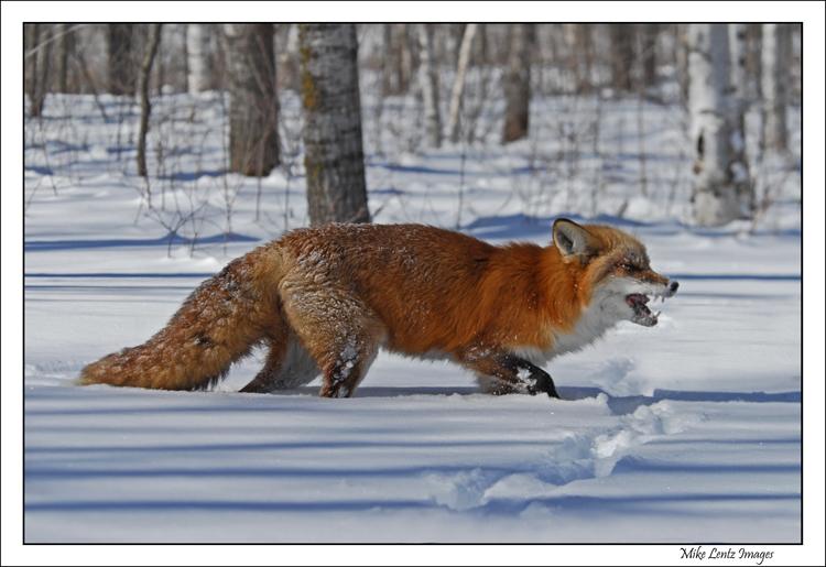 Fox showing teeth