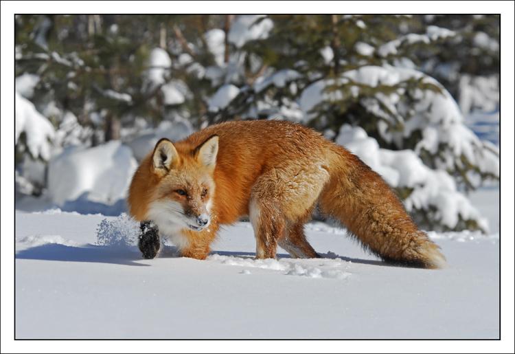 Fox turning