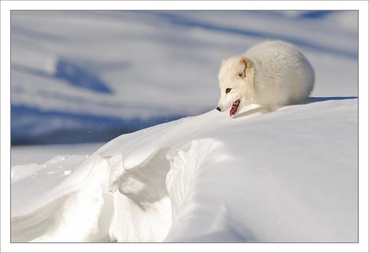 Arctic-Fox-on-snow-ledge