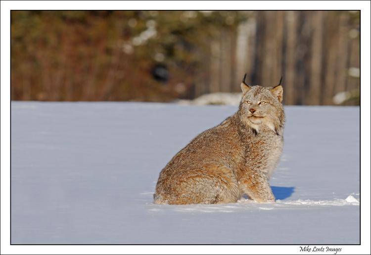 Lynx in the snowy field