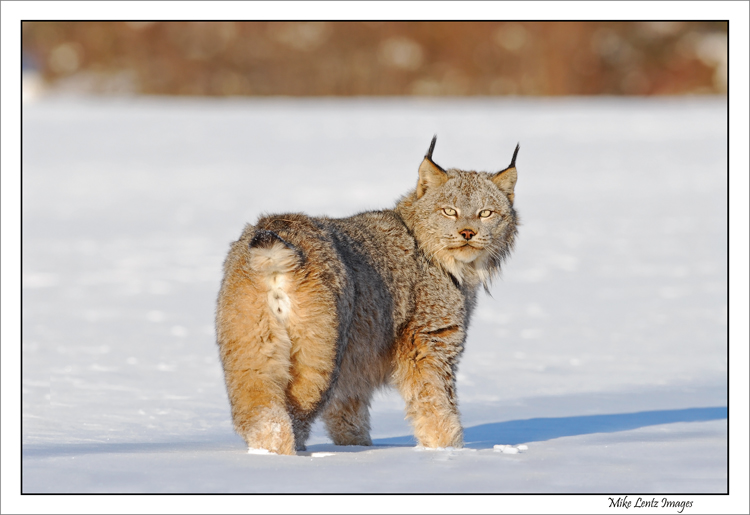 Lynx looking back at me!