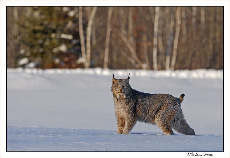 Lynx eyes on me!