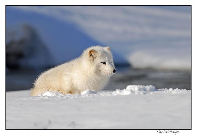 Arctic-Fox-near-Kettle-river