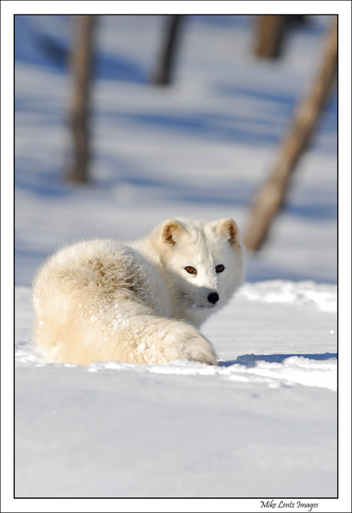 Arctic Fox upright