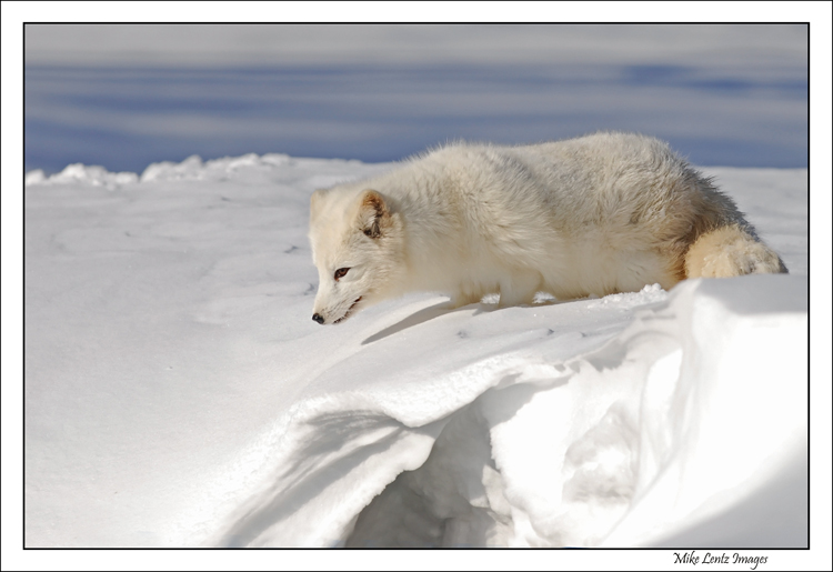 Arctic Fox snowy ledge
