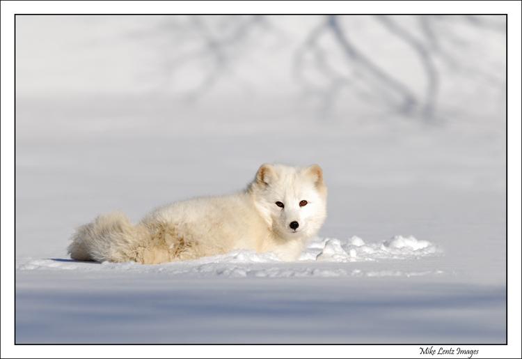Arctic-Fox-moody-moment
