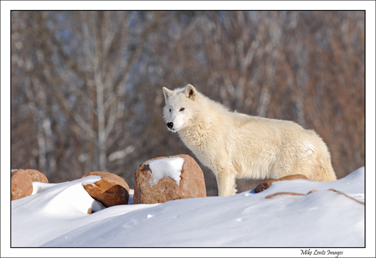 Arctic-wolf-lookout-point