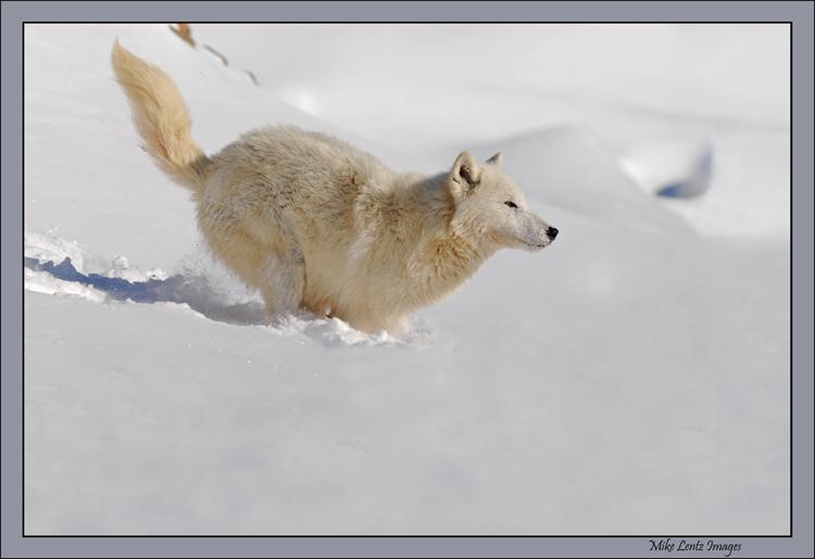Arctic Wolf downhill run