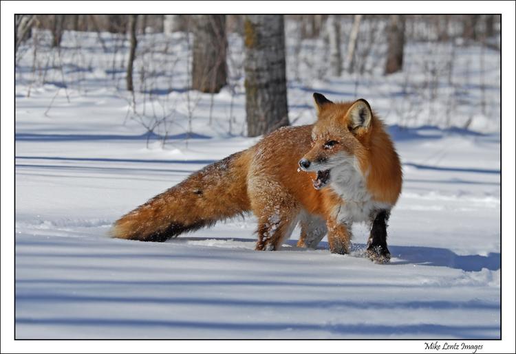 Fox-yipping