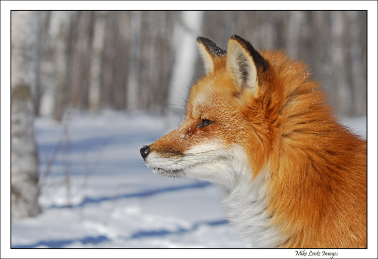Fox-head-portrait