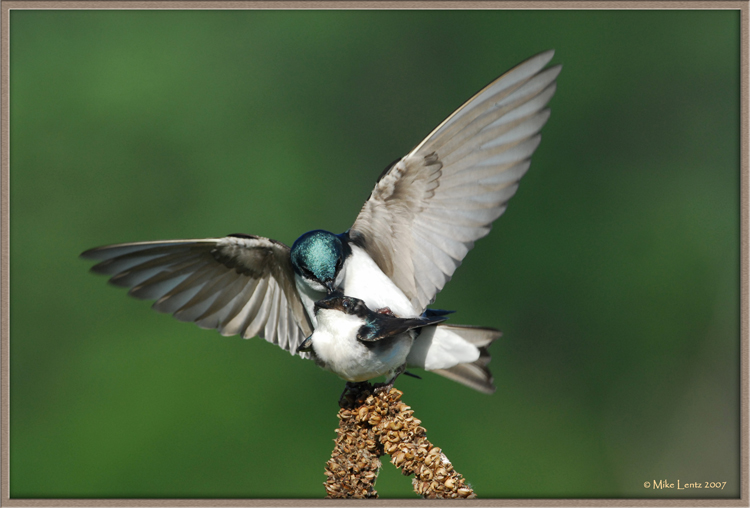Tree-swallow-delight