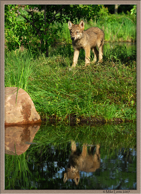 Timberwolf pup reflection