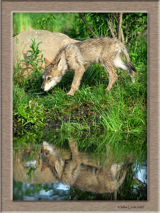 Timberwolf pup reflecting close