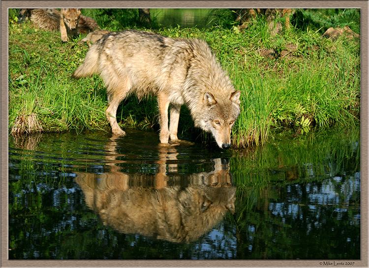 Timberwolf blue water