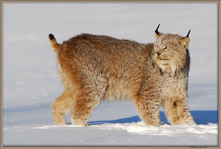 Lynx sun looking back