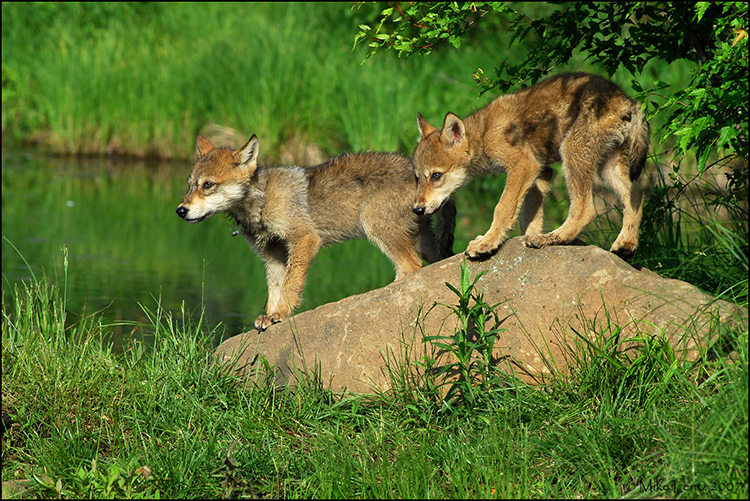 Wolf pups on rock