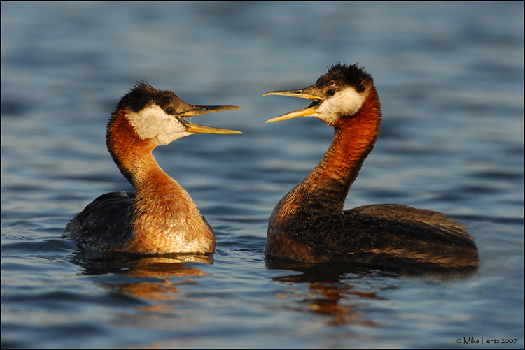 Red Necked Grebes communicating