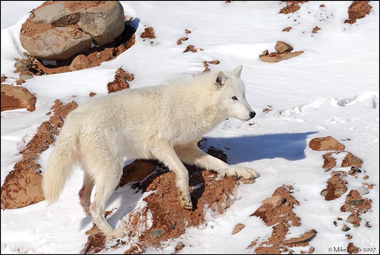 Arctic wolf on rocks