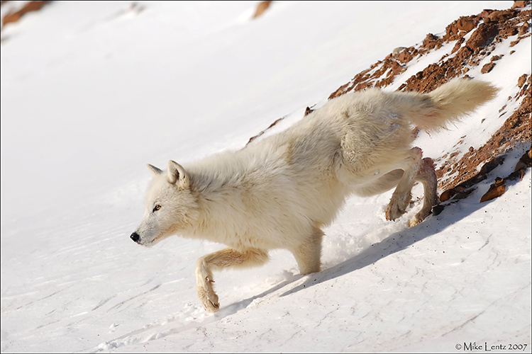 Arctic Wolf down slope