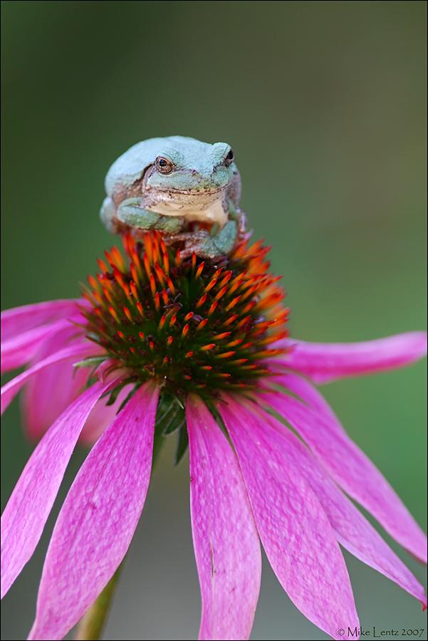 Copes Gray tree frog on Coneflower