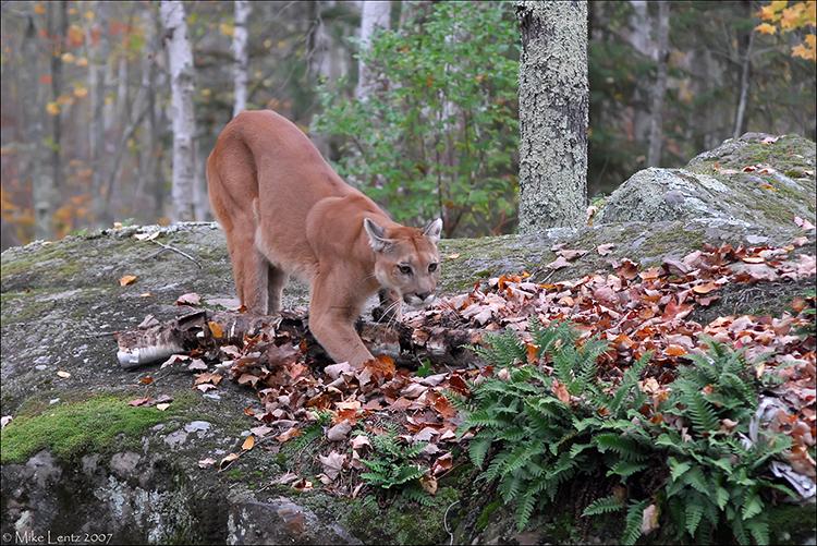 Prowling Puma