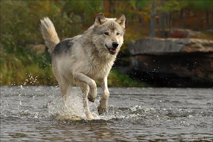 Wolf running through stream