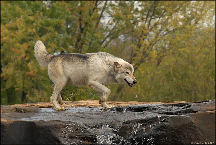 Wolf crossing falls