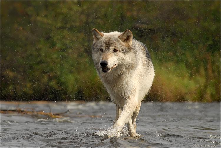 Wolf water shake