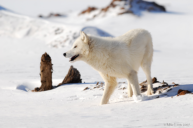 Arctic Wolf winter scene