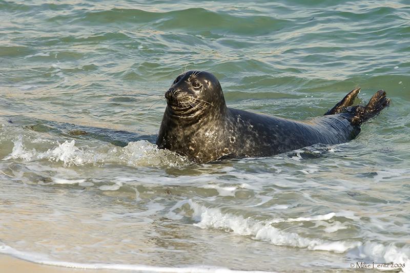 Sea Lion in surf