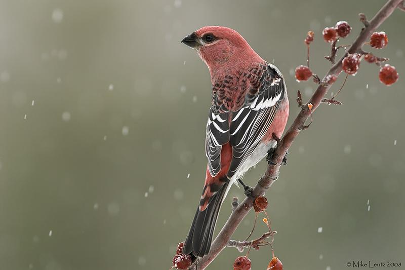 Pine Grosbeak (male) on berries in the snow