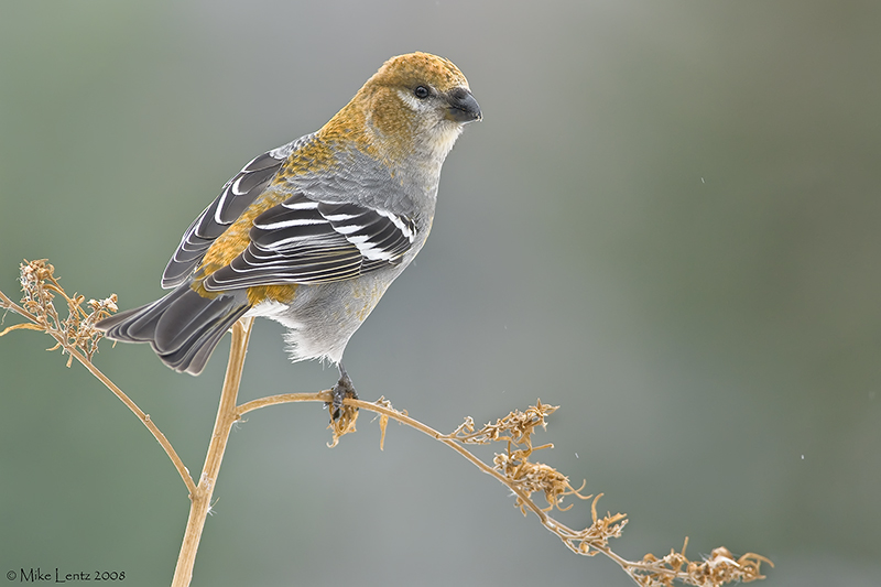 Pine Grosbeak (female) on perch