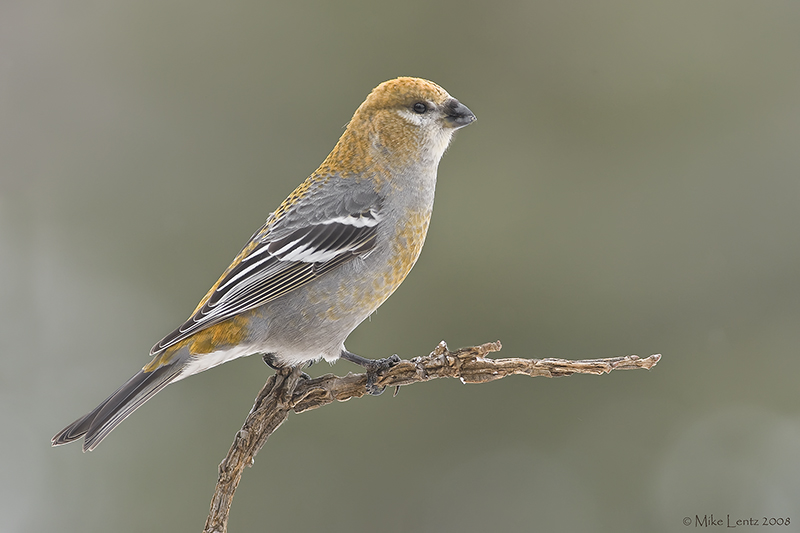 Pine Grosbeak (female) perched