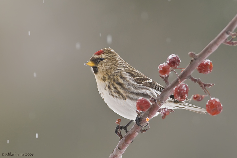 Common Redpoll on berries in snow